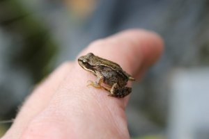 baby_frog_2_by_jay_k_pics-d3nwm43